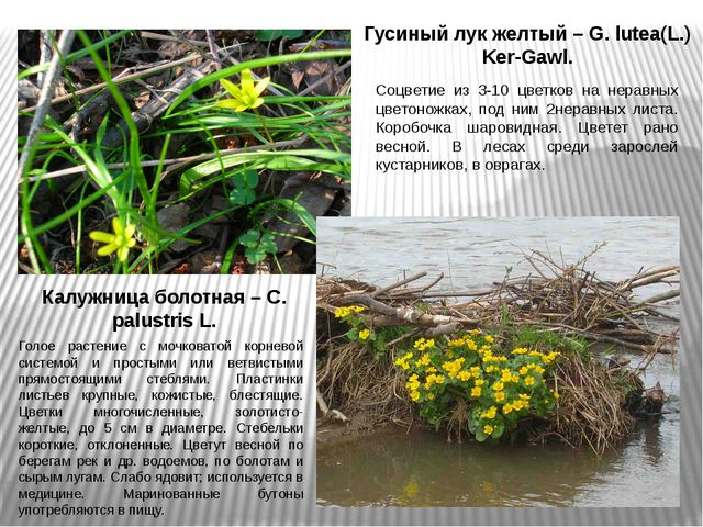 Гусиный лук желтый – G. lutea(L.) Ker-Gawl. Соцветие из 3-10 цветков на нерав...
