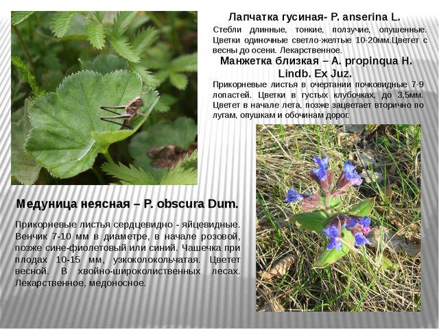 Лапчатка гусиная- P. anserina L. Стебли длинные, тонкие, ползучие, опушенные....