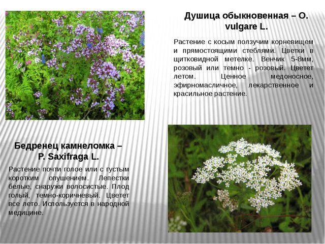 Душица обыкновенная – O. vulgare L. Растение с косым ползучим корневищем и пр...