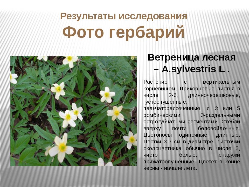Ветреница лесная – А.sylvestris L . Растение с вертикальным корневищем. Прико...