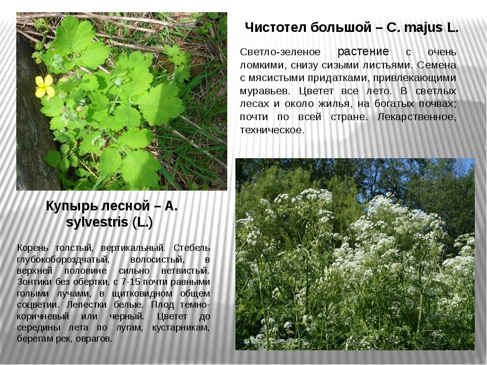 Чистотел большой – C. majus L. Светло-зеленое растение с очень ломкими, снизу...