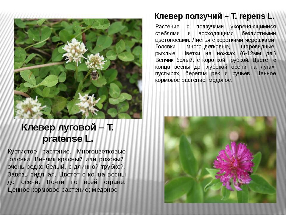 Клевер ползучий – T. repens L. Растение с ползучими укореняющимися стеблями и...