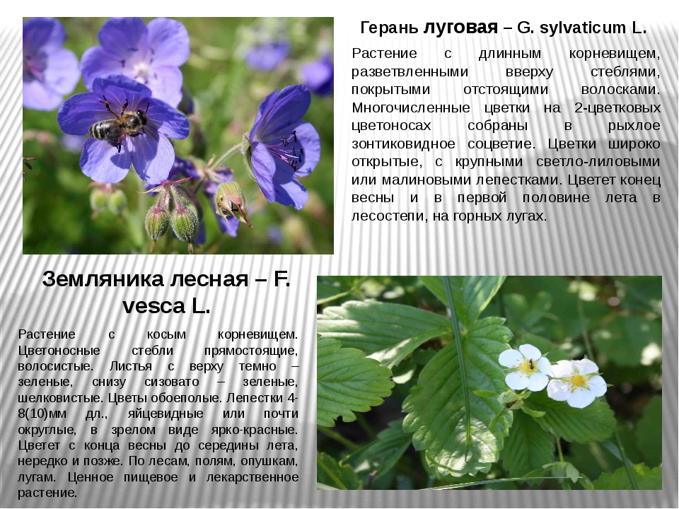 Герань луговая – G. sylvaticum L. Растение с длинным корневищем, разветвленны...