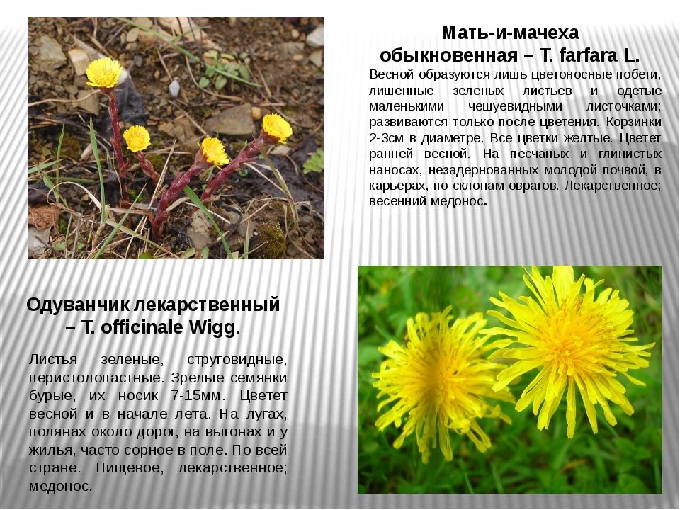 Мать-и-мачеха обыкновенная – T. farfara L. Весной образуются лишь цветоносные...
