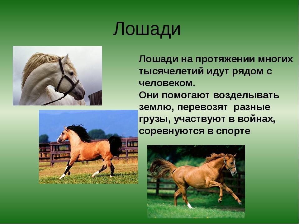 Лошади Лошади на протяжении многих тысячелетий идут рядом с человеком. Они по...