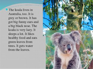 The koala lives in Australia, too. It is grey or brown. It has got big funny
