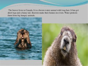 The beaver lives in Canada. It is a brown water animal with long hair. It ha