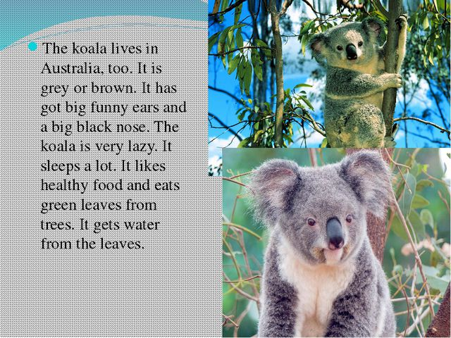 The koala lives in Australia, too. It is grey or brown. It has got big funny...