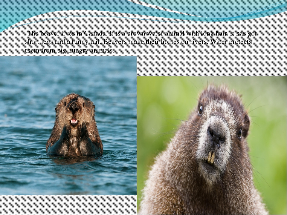 The beaver lives in Canada. It is a brown water animal with long hair. It ha...
