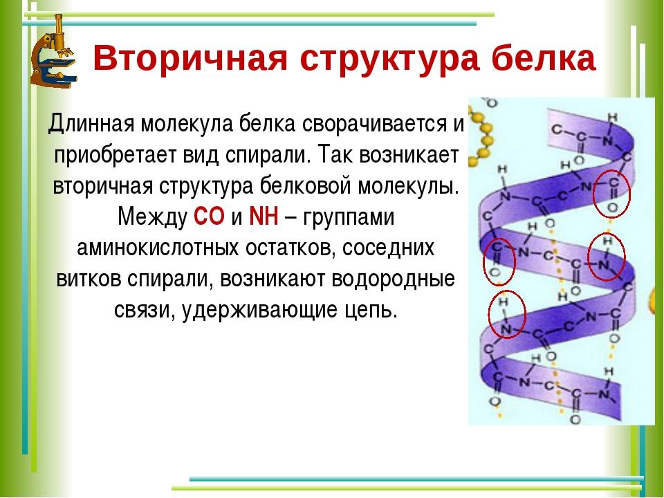 Вторичная структура белка  Длинная молекула белка сворачивается и приобретае...