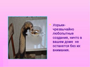 Хорьки- чрезвычайно любопытные создания, ничто в вашем доме не останется без