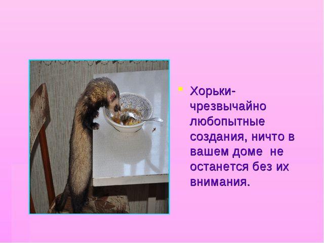 Хорьки- чрезвычайно любопытные создания, ничто в вашем доме не останется без...
