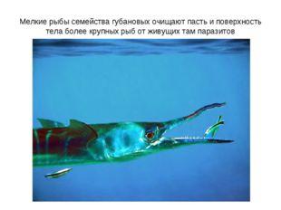 Мелкие рыбы семейства губановых очищают пасть и поверхность тела более крупны