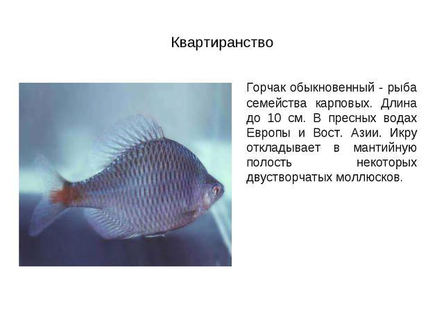 Квартиранство Горчак обыкновенный - рыба семейства карповых. Длина до 10 см....