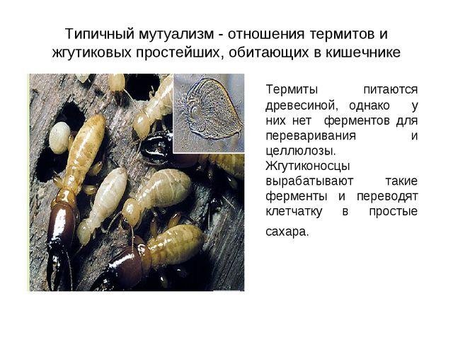 Типичный мутуализм - отношения термитов и жгутиковых простейших, обитающих в...