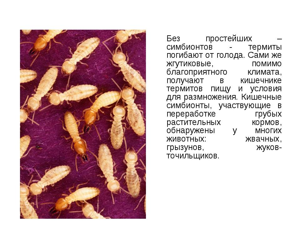 Без простейших – симбионтов - термиты погибают от голода. Сами же жгутиковые...