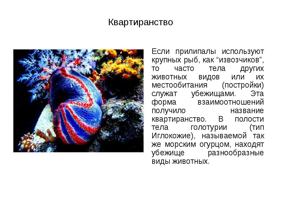 """Квартиранство Если прилипалы используют крупных рыб, как """"извозчиков"""", то ча..."""