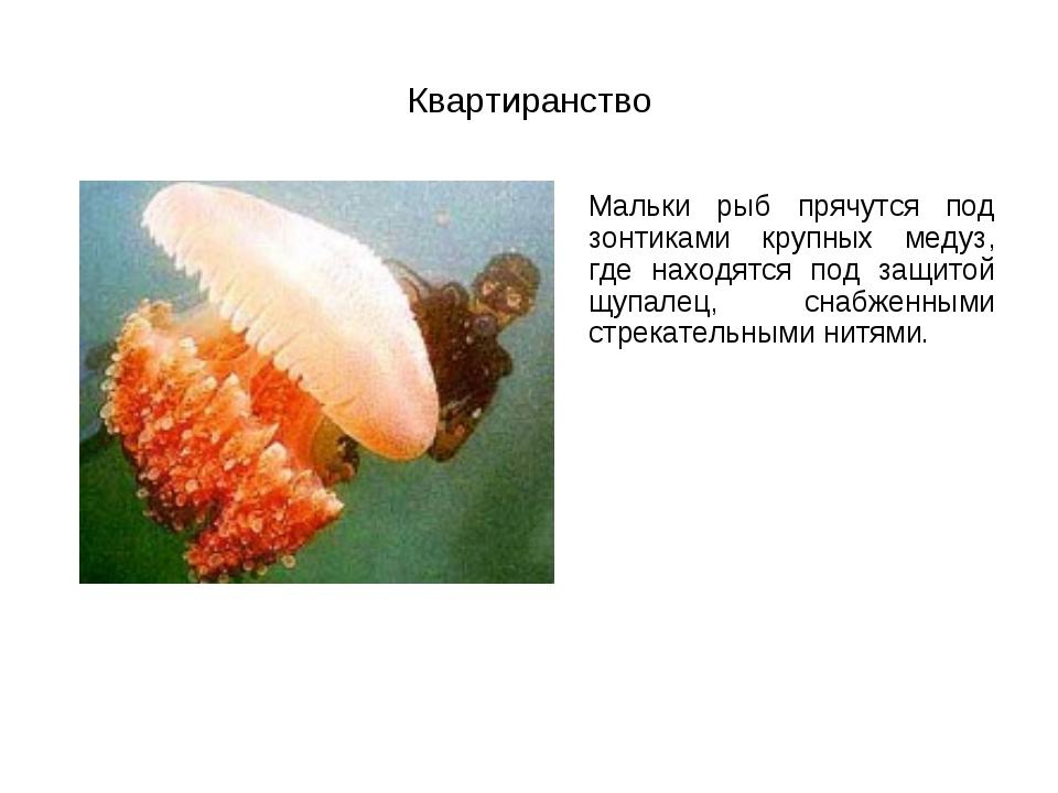 Квартиранство Мальки рыб прячутся под зонтиками крупных медуз, где находятся...