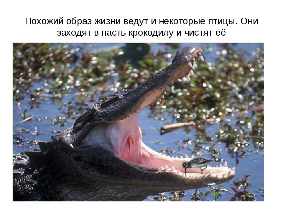 Похожий образ жизни ведут и некоторые птицы. Они заходят в пасть крокодилу и...