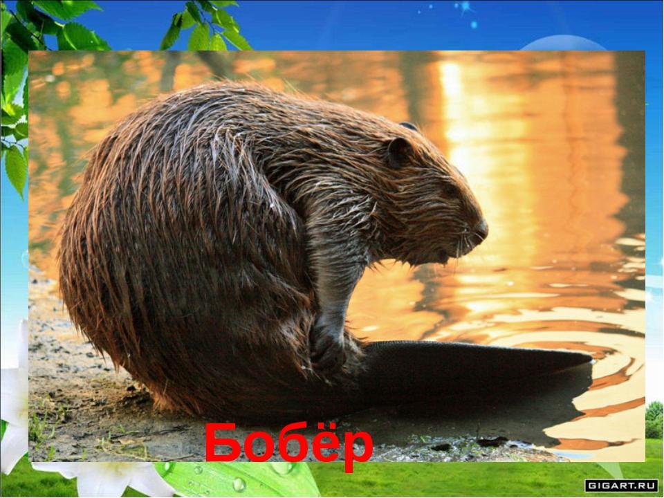 Любит заводь, любит тину, Строит в речке он плотину. Удивительно хитёр Добры...