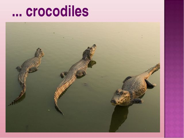 ... crocodiles