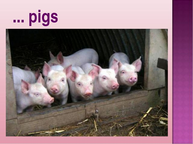 ... pigs