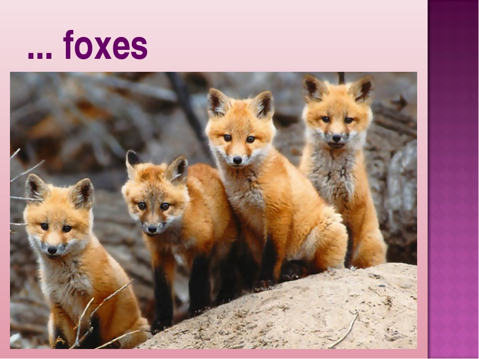 ... foxes