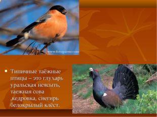 Типичные таёжные птицы – это глухарь уральская неясыть, таежная сова ,кедровк