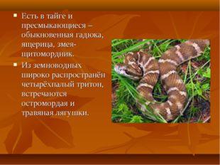 Есть в тайге и пресмыкающиеся – обыкновенная гадюка, ящерица, змея-щитомордни