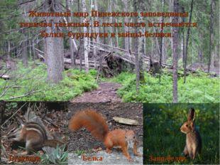 Животный мир Пинежского заповедника типично таёжный. В лесах часто встречаютс