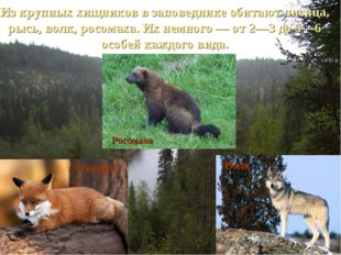 Из крупных хищников в заповеднике обитают лисица, рысь, волк, росомаха. Их не