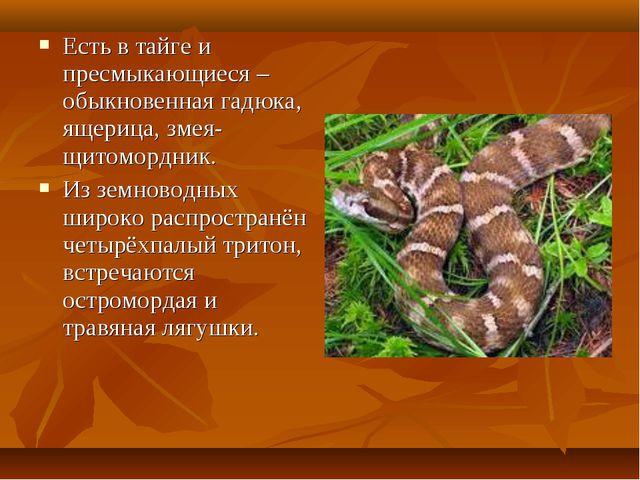 Есть в тайге и пресмыкающиеся – обыкновенная гадюка, ящерица, змея-щитомордни...