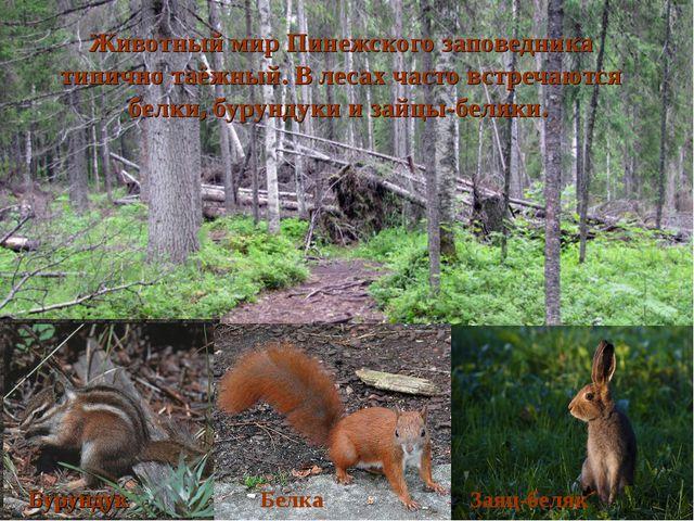 Животный мир Пинежского заповедника типично таёжный. В лесах часто встречаютс...