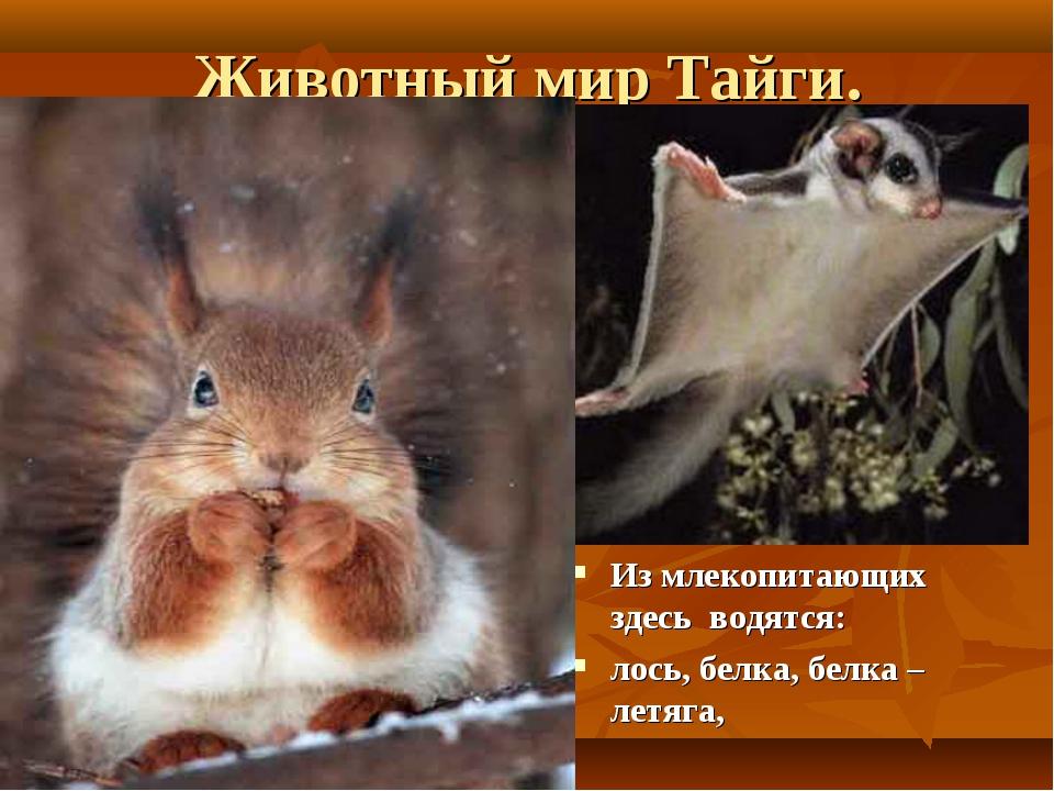 Животный мир Тайги. Из млекопитающих здесь водятся: лось, белка, белка – летя...