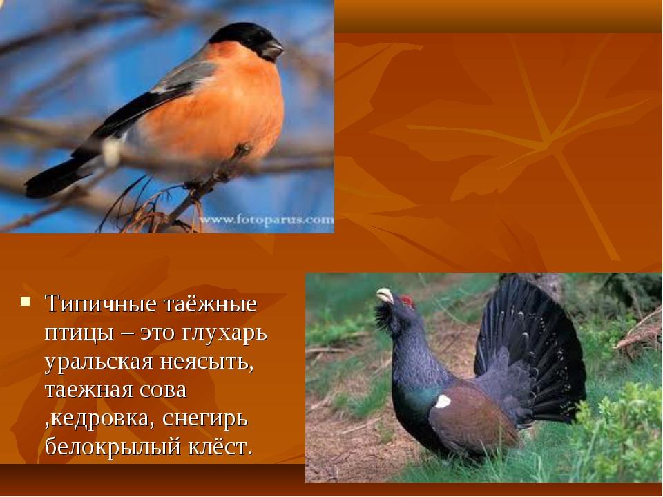 Типичные таёжные птицы – это глухарь уральская неясыть, таежная сова ,кедровк...