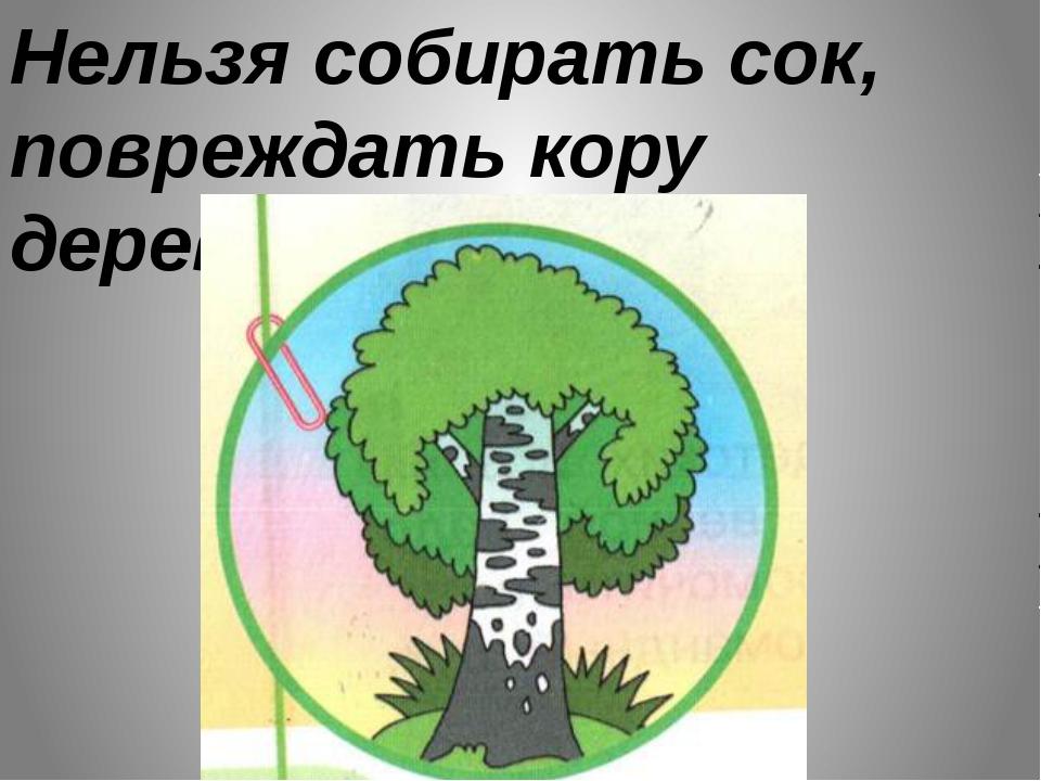 Нельзя собирать сок, повреждать кору деревьев.