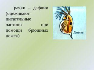 рачки – дафнии (оцеживают питательные частицы при помощи брюшных ножек)