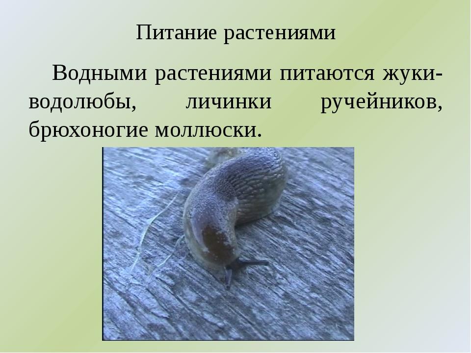 Питание растениями Водными растениями питаются жуки-водолюбы, личинки ручейни...
