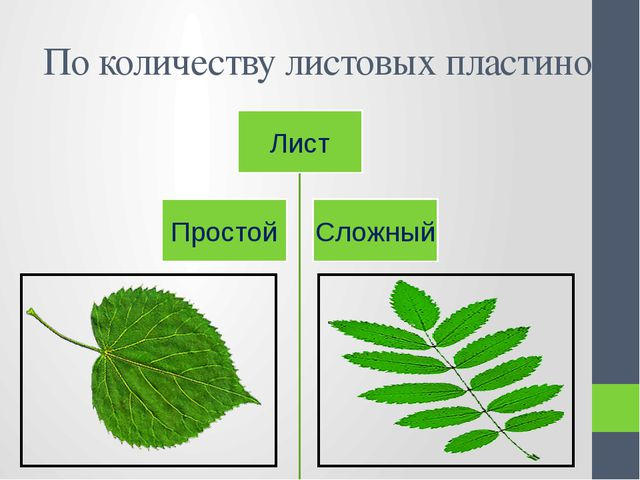 По количеству листовых пластинок