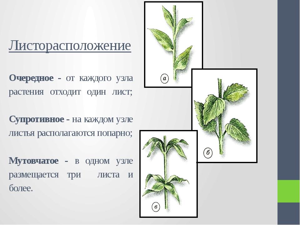 Листорасположение Очередное - от каждого узла растения отходит один лист; Суп...