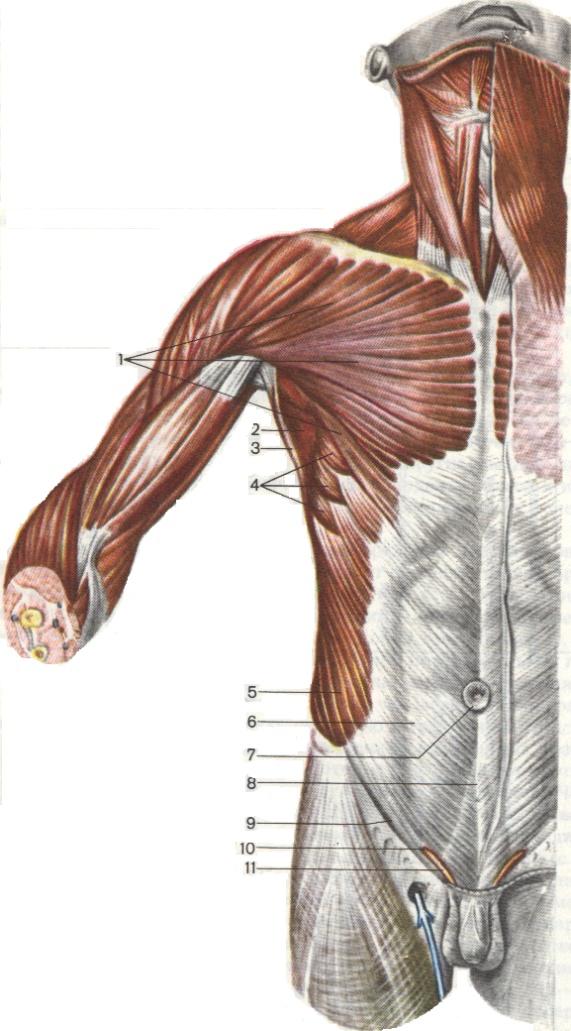 Мышцы 008