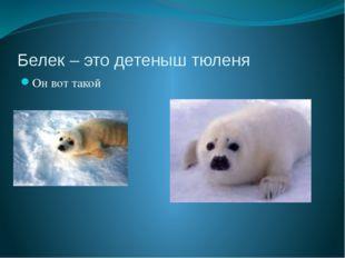 Белек – это детеныш тюленя Он вот такой