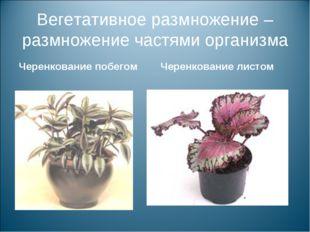 Вегетативное размножение – размножение частями организма Черенкование побегом