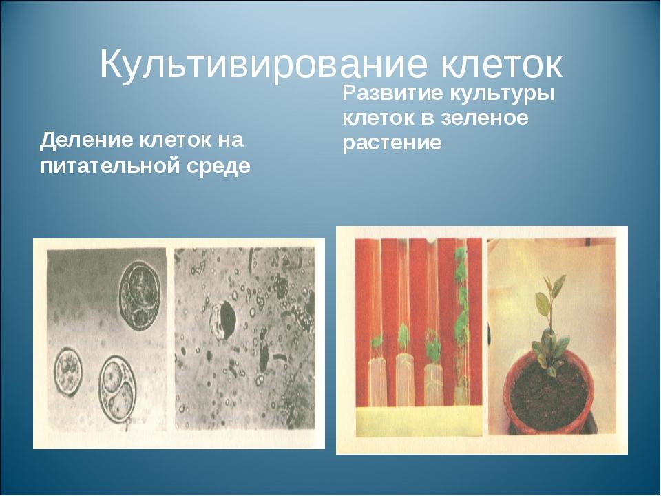 Культивирование клеток Деление клеток на питательной среде Развитие культуры...