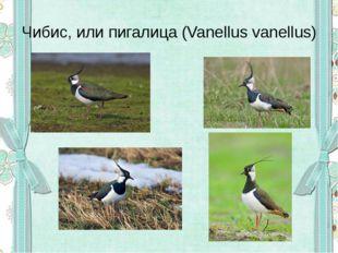 Чибис, или пигалица (Vanellus vanellus)