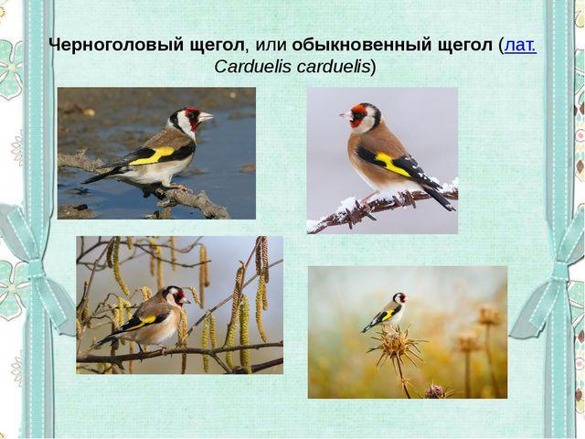 Черноголовый щегол, илиобыкновенный щегол(лат.Carduelis carduelis)