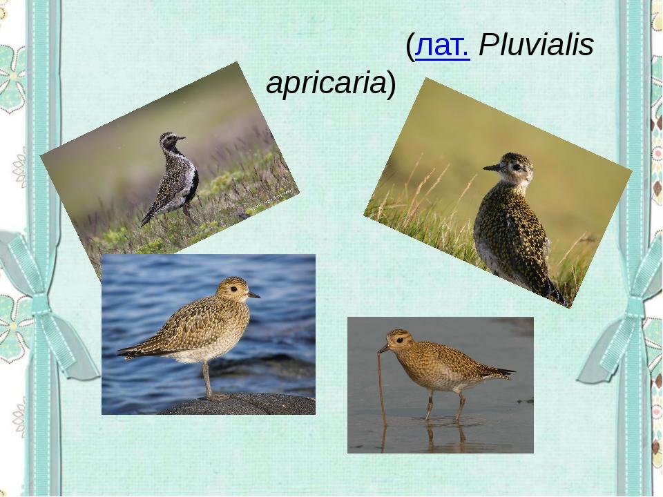 Золоти́стая ржа́нка(лат.Pluvialis apricaria)