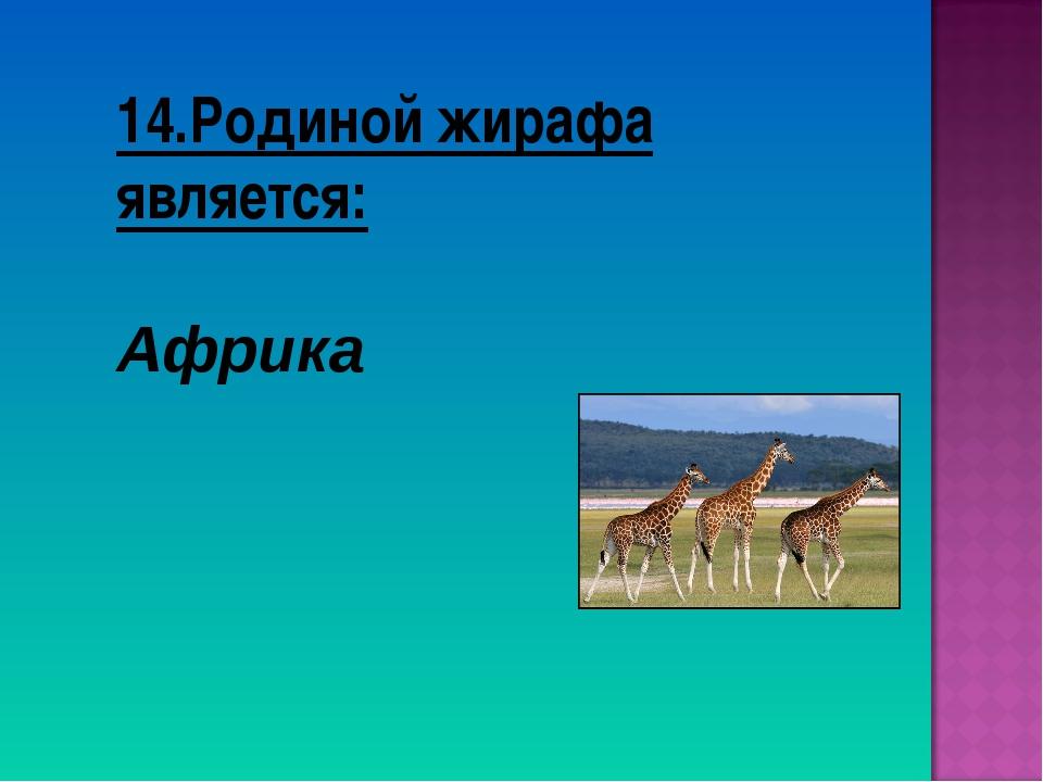 14.Родиной жирафа является: Африка
