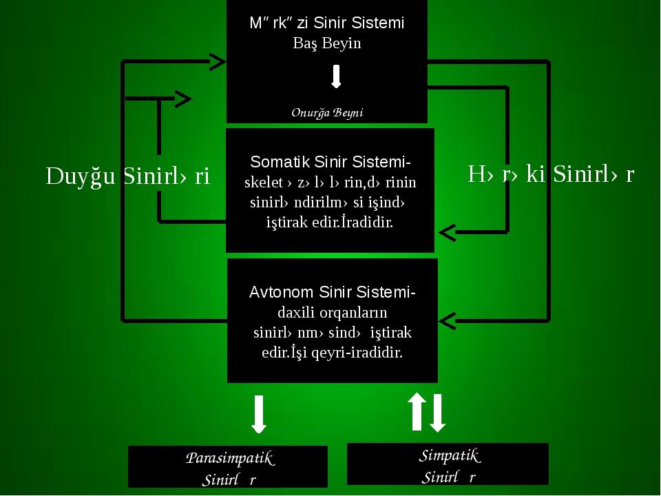Mərkəzi Sinir Sistemi Baş Beyin Onurğa Beyni Somatik Sinir Sistemi-skelet əzə...