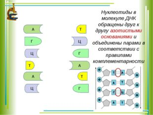 А Т Г Ц Г Т А Ц А Т Ц Г Нуклеотиды в молекуле ДНК обращены друг к другу азоти